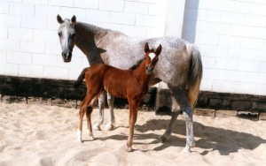Mlolesh Alyatima with her newborn filly