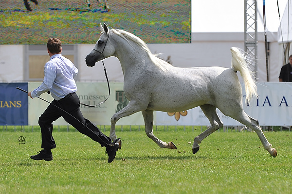 Palmira Poland WAHO Trophy winner in 2010 with handler Kamil Kulczyński Photo: Wieslaw Pawlowski & Lydia Pawlowska