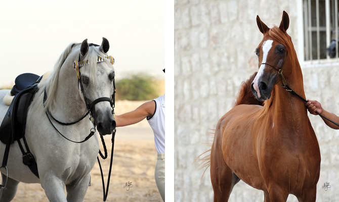 (left) Fouad Al Gharafa and (right) Elmina (Harbin x Elzunia )