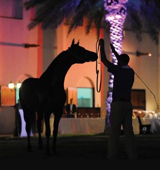 Al Shahania - Show horse DSC_9192