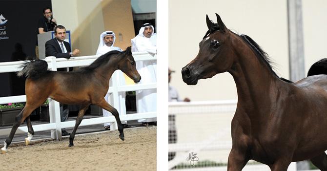 (left) Filly (Wadee Al Shaqab x Magheeda Al Shaqab) and Kahla Al Shaqab