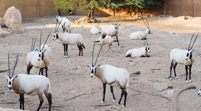Al Wabra - Arabian Oryx _5120-670px
