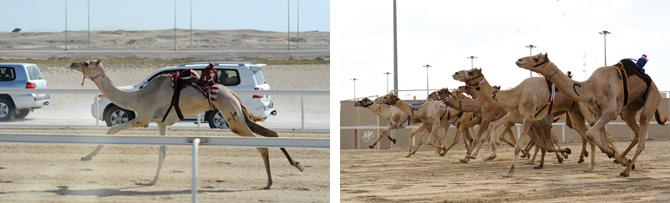Camel Race - 670px