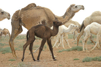 Camel and baby camel-330px
