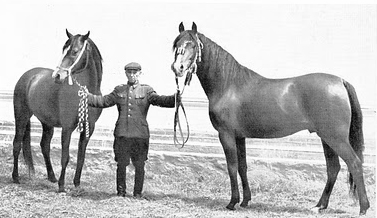71 years ago this month, Janów Podlaski's groom Jan Ziniewicz was responsible for saving the stallions Witraz and Wielki Szlem during the Allied fire-bombing of Dresden. In this later photo he is shown holding the stallions Almifar (grandson of Witraz) and Czort (son of Wielki Szlem).