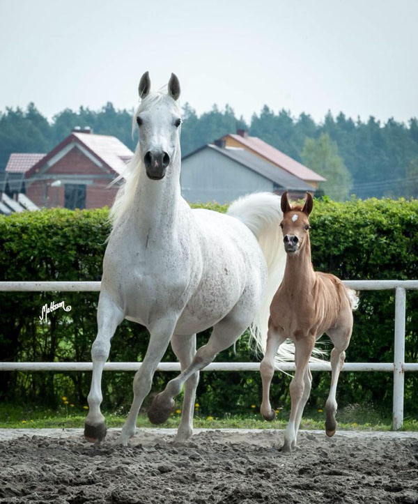 2016 WAHO Trophy Winner for Poland: Emandoria, picture taken in 2015 with her filly at foot.